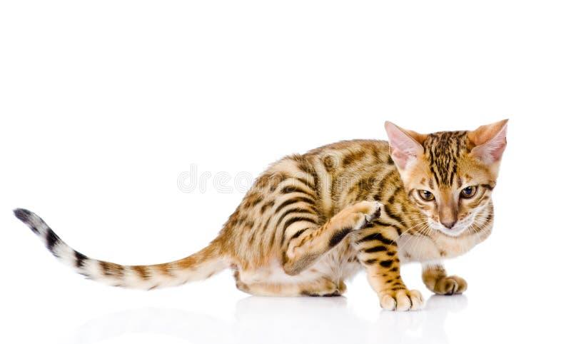 De kat van Bengalen krassen geïsoleerd op witte achtergrond royalty-vrije stock fotografie