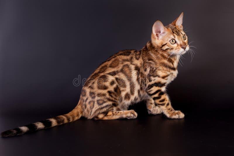 De kat van Bengalen op een zwarte achtergrond stock fotografie
