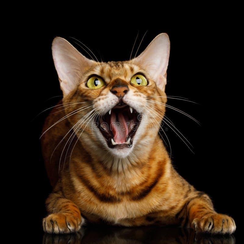 De Kat van Bengalen op Zwarte Achtergrond royalty-vrije stock foto