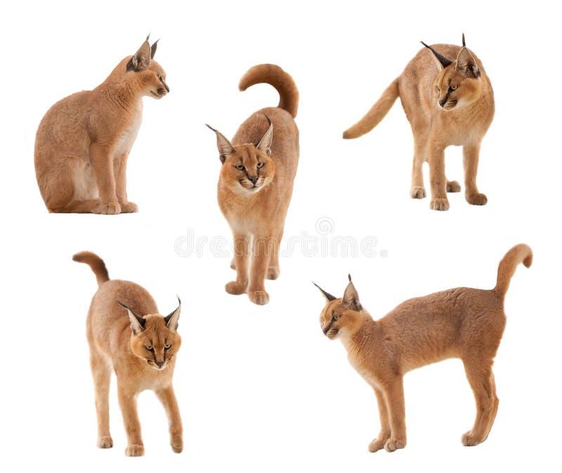 De kat van Caracal