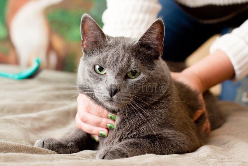 De kat van Crey stock afbeelding