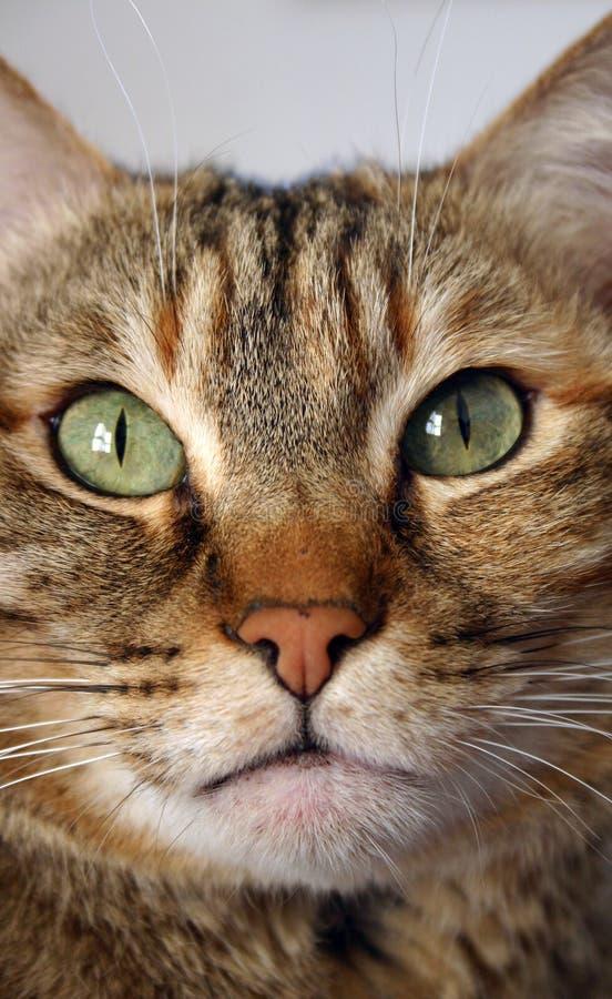 De kat van de gestreepte kat royalty-vrije stock afbeelding