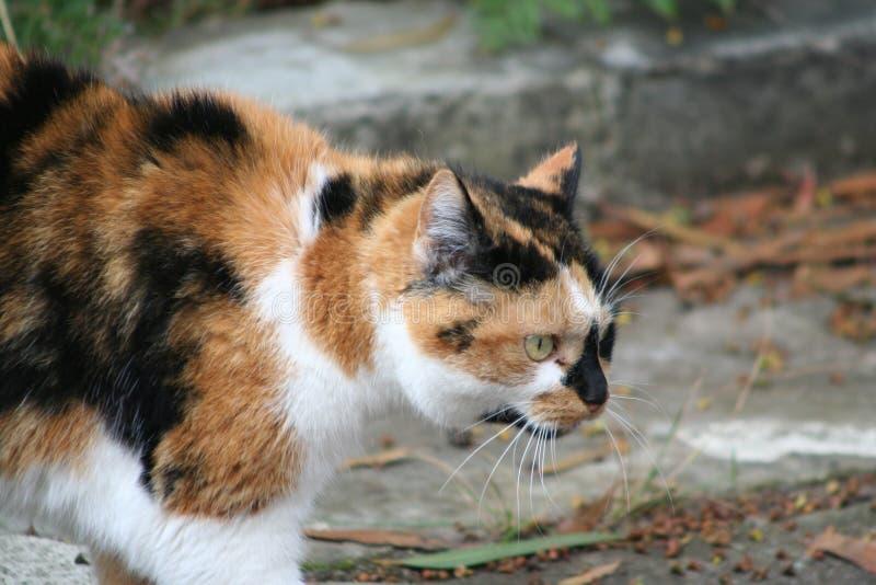 De Kat van de gestreepte kat royalty-vrije stock fotografie