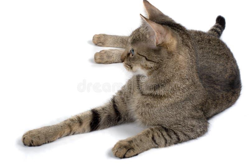 De Kat van de gestreepte kat op Wit stock afbeeldingen
