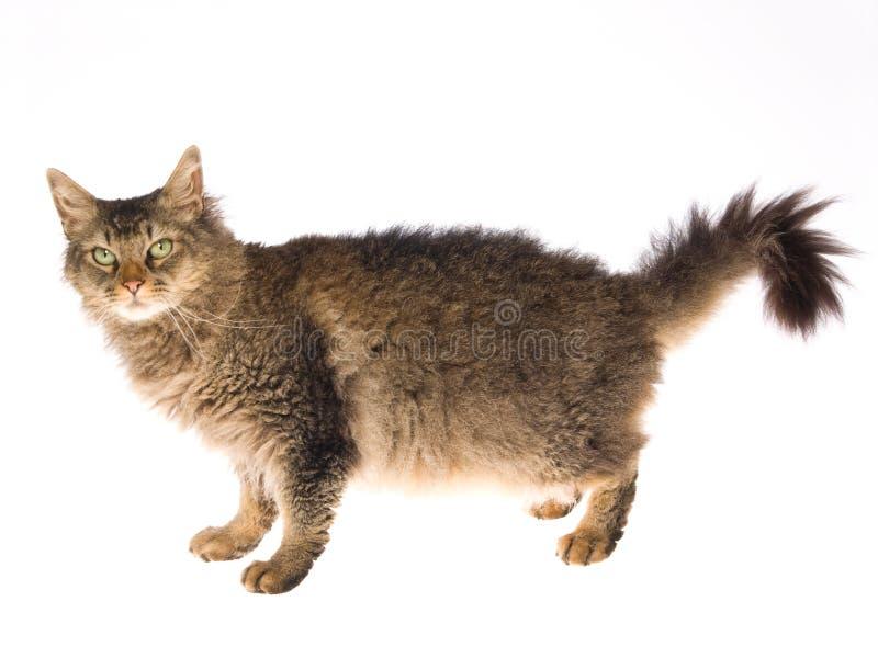 De kat van de Permanent van La op witte achtergrond royalty-vrije stock foto's