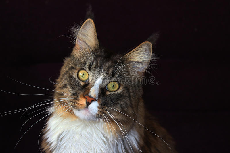 De Kat van de Wasbeer van Maine stock afbeelding
