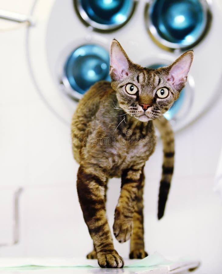 De kat van Devon rex in veterinaire kliniek stock fotografie