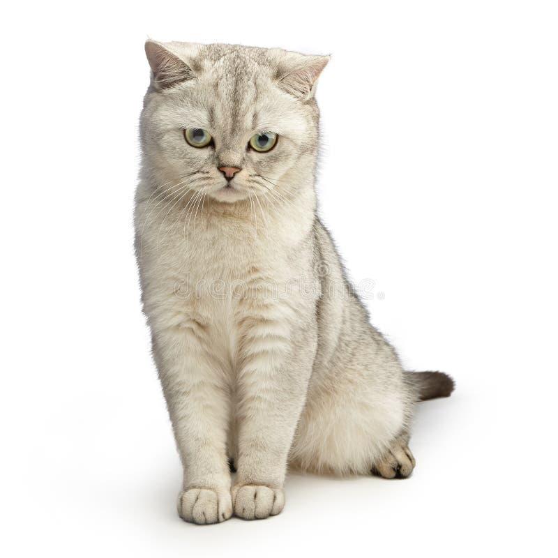 De kat van Gray British shorthair royalty-vrije stock fotografie