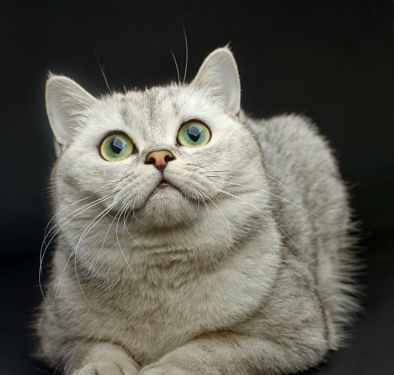 De kat van Gray British shorthair stock foto