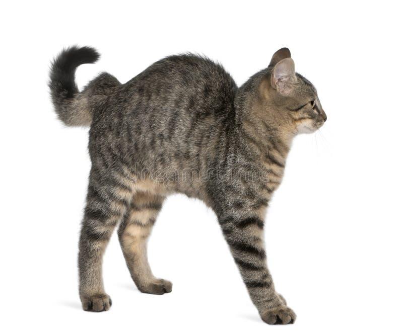 De kat van het mengen-ras, Felis catus, 6 maanden oud royalty-vrije stock foto's