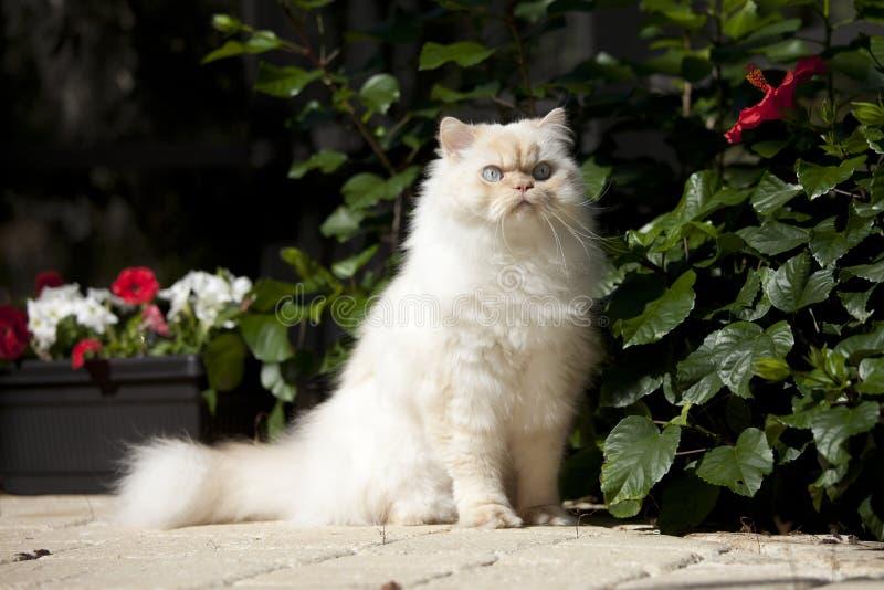 De kat van Himalayan royalty-vrije stock afbeeldingen