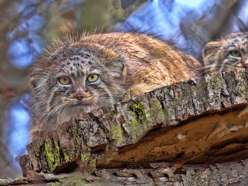 De kat van Pallas, Otocolobus manul, is één van de mooiste katten royalty-vrije stock foto