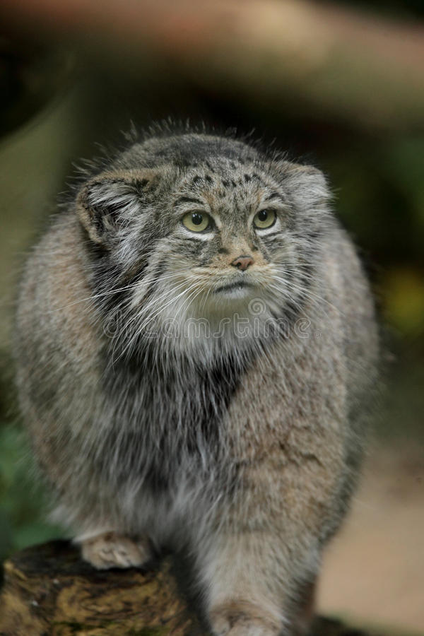 De kat van Pallas (Otocolobus manul) royalty-vrije stock afbeeldingen