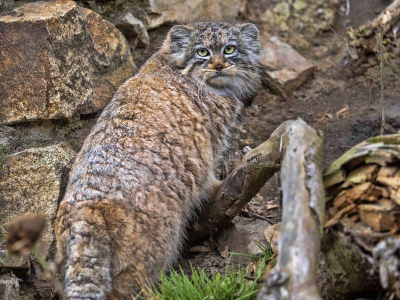 De kat van Pallas, Otocolobus manul, is een zeer mooie bergkat royalty-vrije stock foto