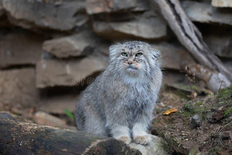 De kat van Pallas, Otocolobus manul stock afbeelding