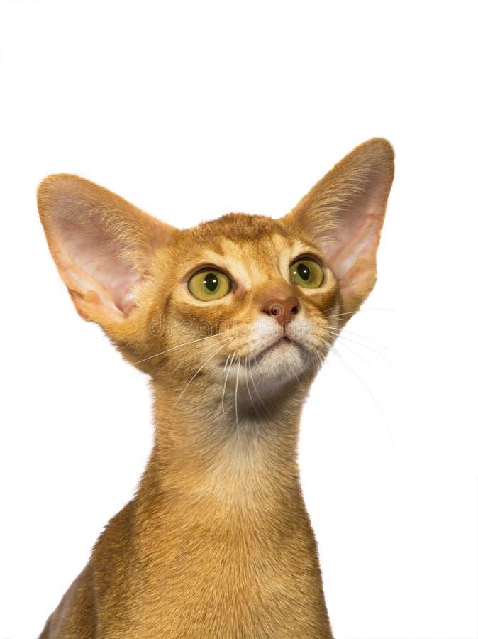 De kat van portretabyssinian royalty-vrije stock foto's