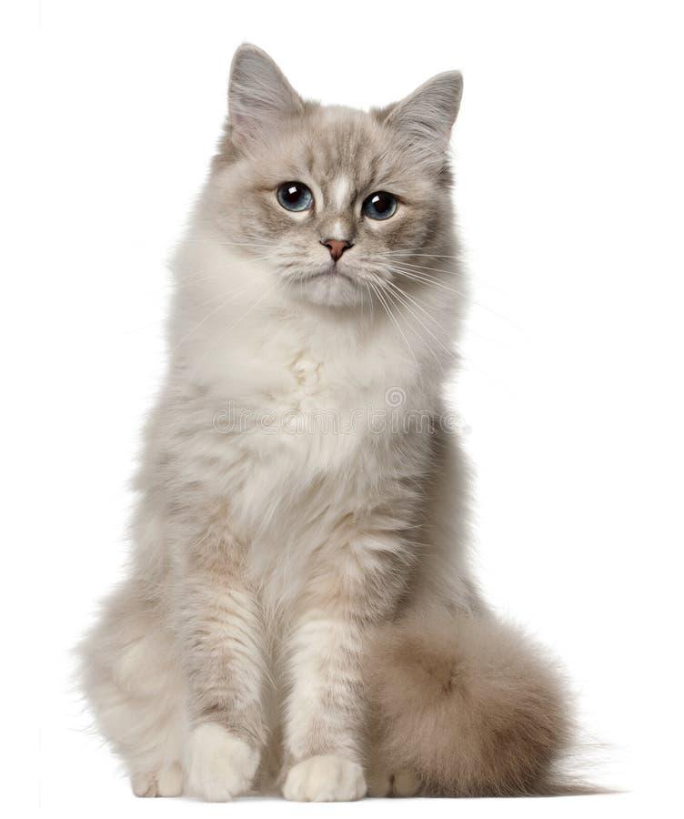 De kat van Ragdoll, 1 éénjarige, het zitten stock afbeelding
