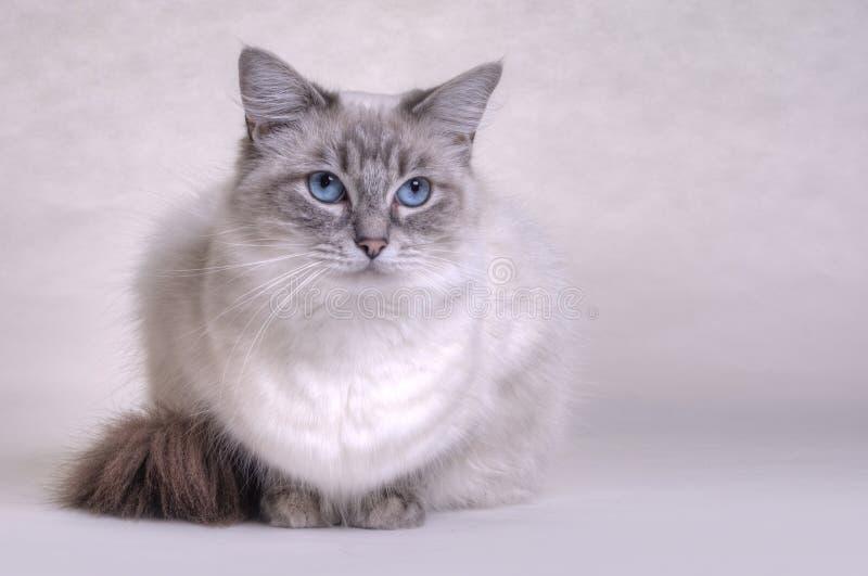 De Kat van Ragdoll stock fotografie