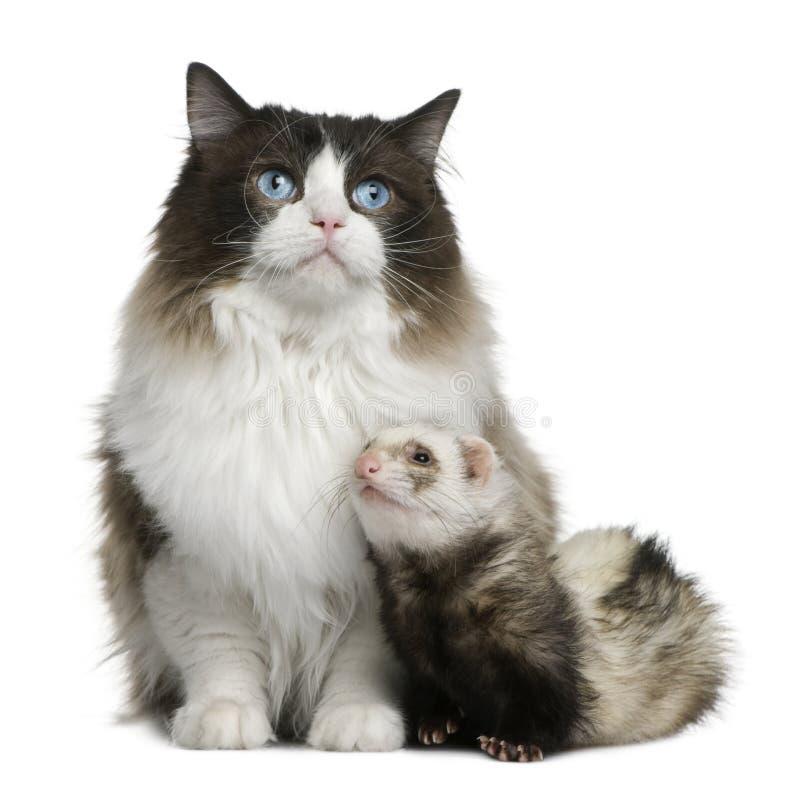 De kat van Ragdoll en een fret royalty-vrije stock foto