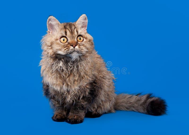 De kat van Selkirk rex royalty-vrije stock afbeeldingen