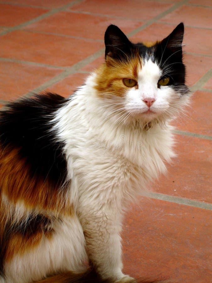 De Kat van Tricolor stock afbeelding