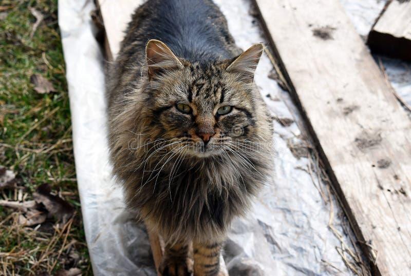 De Kat van de Wasbeer van Maine stock afbeeldingen