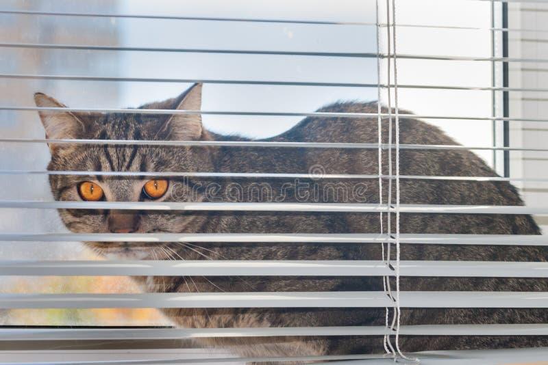 De kat zit op de vensterbank tussen het raamkozijn en de hangende horizontale zonneblinden stock afbeelding