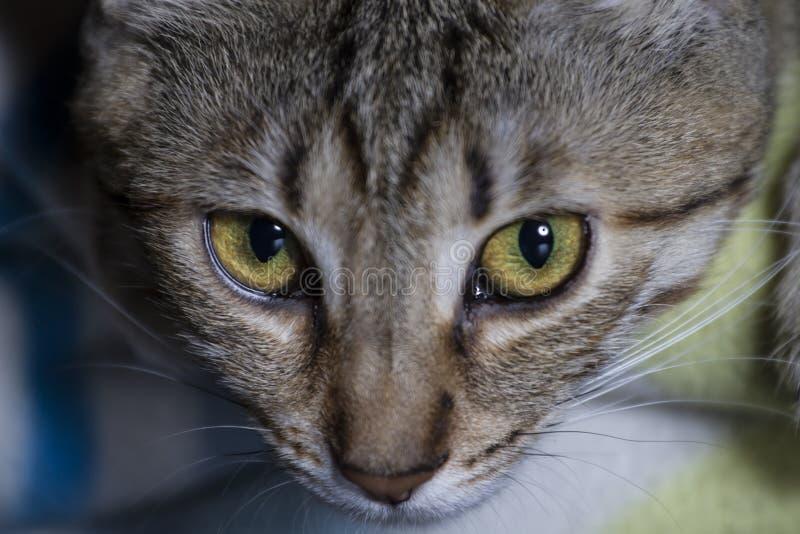 De katachtige, Aanbiddelijke gemeenschappelijke gestreepte kat van het kattenhaar royalty-vrije stock fotografie