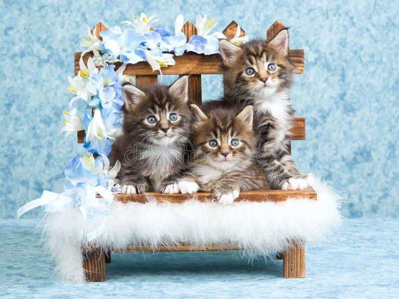 De katjes van de Wasbeer van Maine op houten bank stock afbeelding