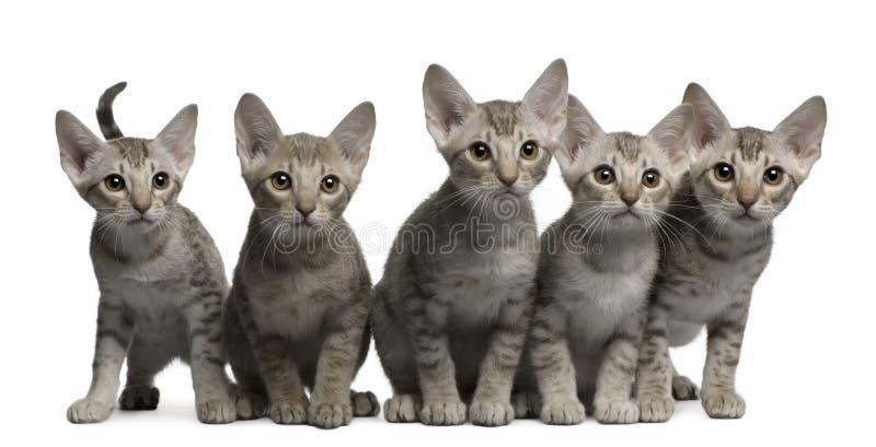 De katjes van Ocicat, 13 weken oud, het zitten stock fotografie