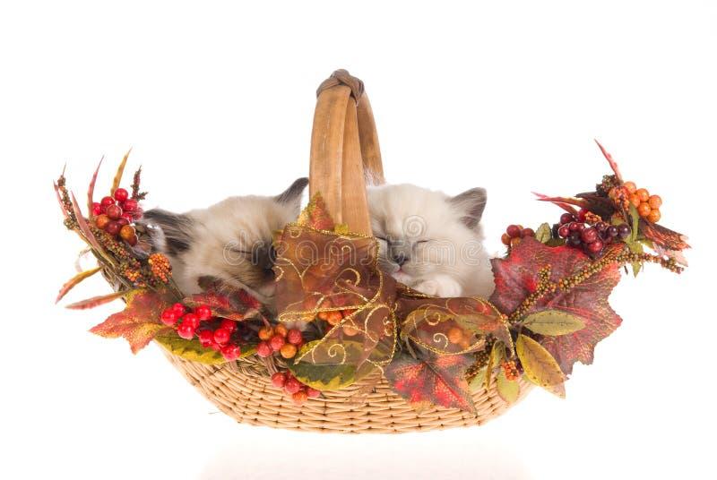 De katjes van Ragdoll van de slaap, op witte achtergrond royalty-vrije stock foto's
