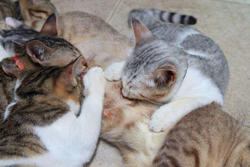 De katjeskatten zuigen melk stock foto's