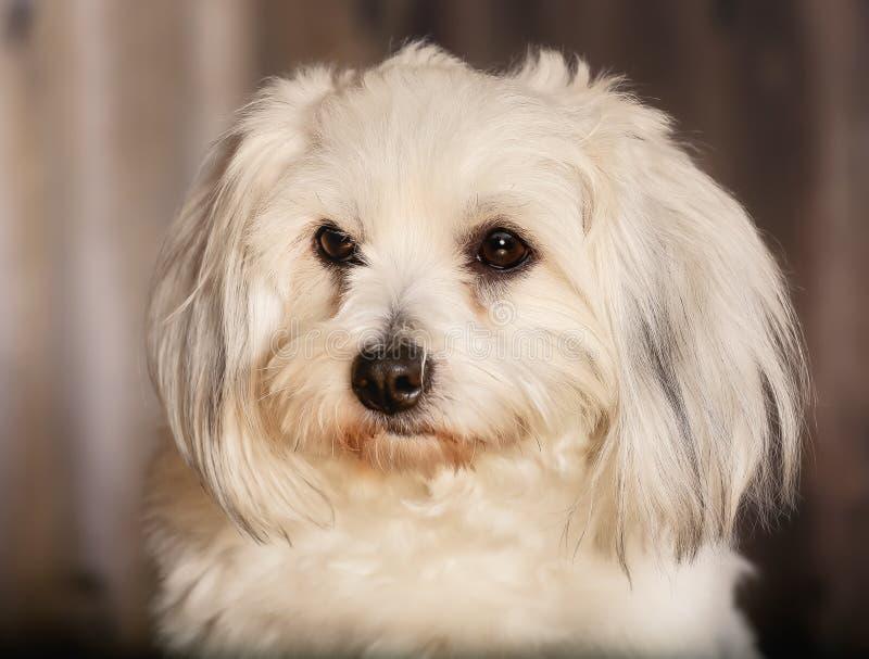 De katoenen hond van DE Tulear royalty-vrije stock fotografie