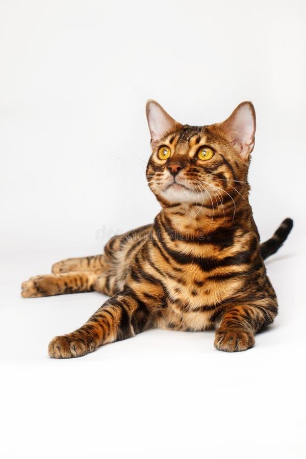De Katten van Bengalen - Tijgers royalty-vrije stock foto's