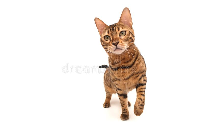 De Katten van Bengalen - Tijgers Ge?soleerdj op witte achtergrond stock foto's