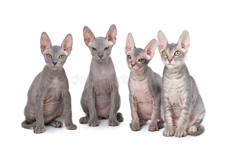 De katten van Sphynx royalty-vrije stock foto's