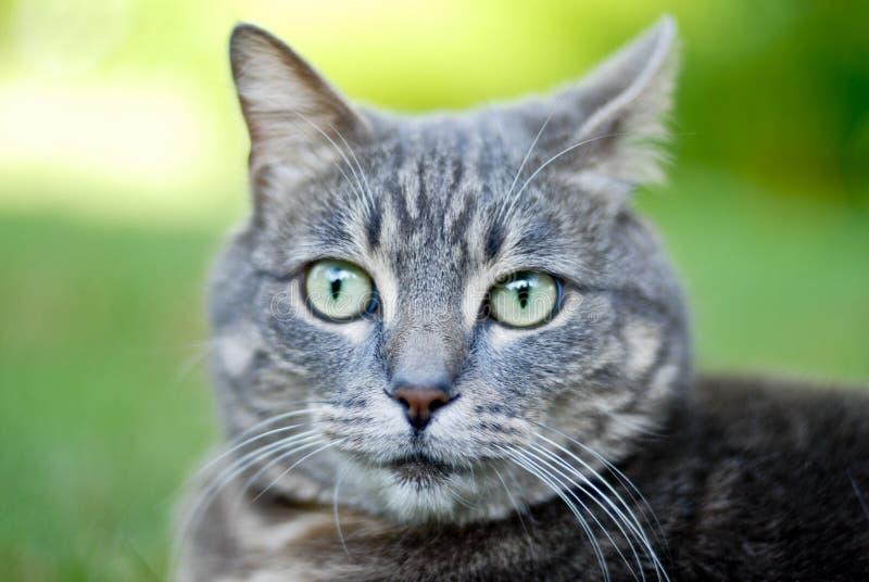 De kattengezicht van de gestreepte kat   royalty-vrije stock afbeeldingen