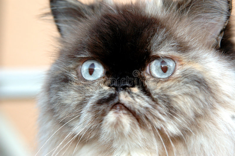 De kattengezicht van Himalayan stock foto
