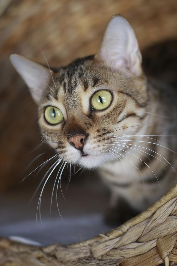 De kattenportret van Bengalen royalty-vrije stock foto's