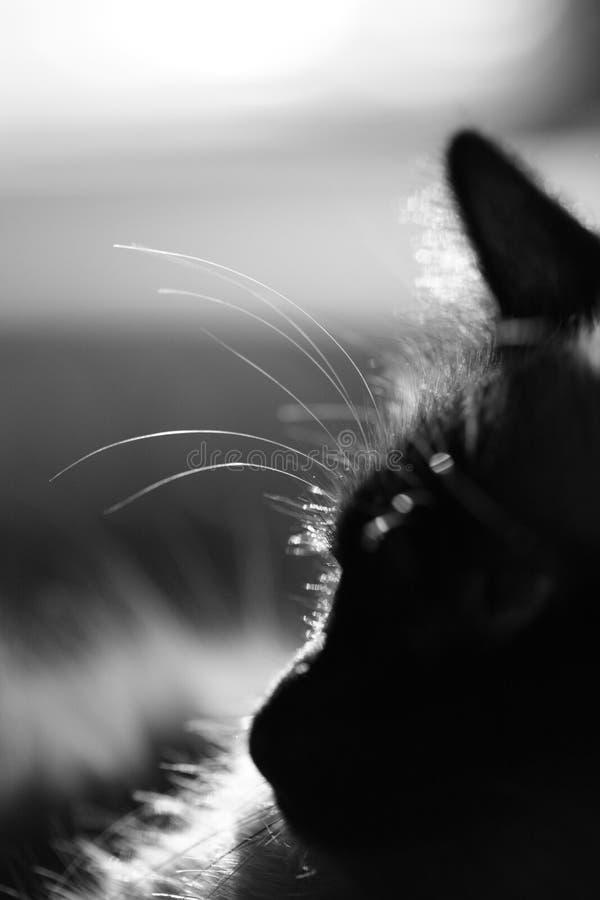 De kattenprofiel van Birman royalty-vrije stock foto's