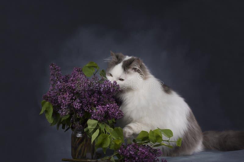 De kattenspelen met een boeket van seringen stock afbeelding