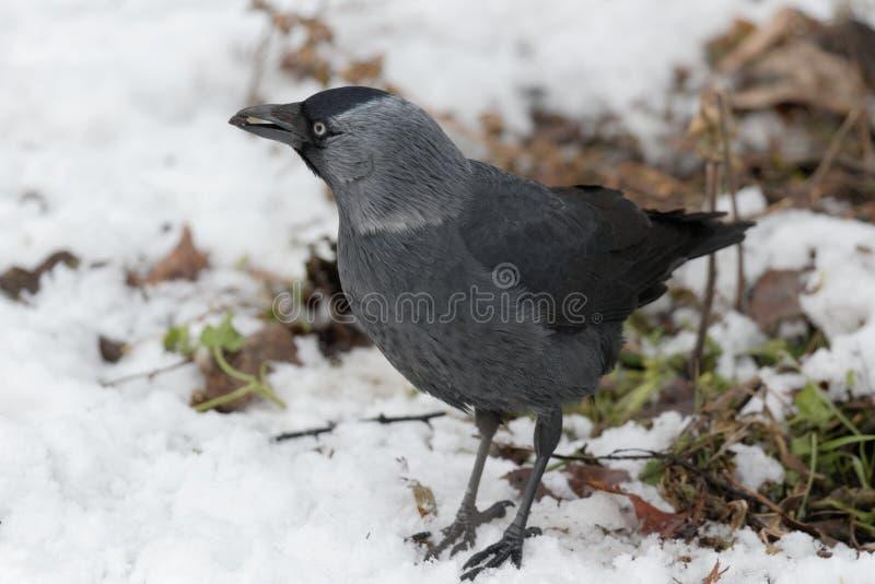 De kauwvogel in de sneeuw royalty-vrije stock foto