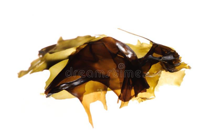 De kelp van het zeewier royalty-vrije stock foto's