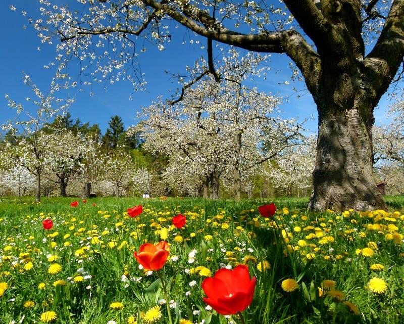 De kers-boom weide met tulpen en paardebloemen evenals kers komt tegen een blauwe hemel tot bloei stock afbeelding