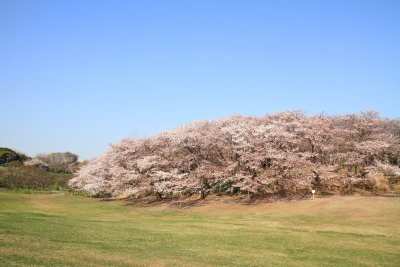 De kers komt bij het Park van Negishi tot bloei Shinrin stock afbeeldingen