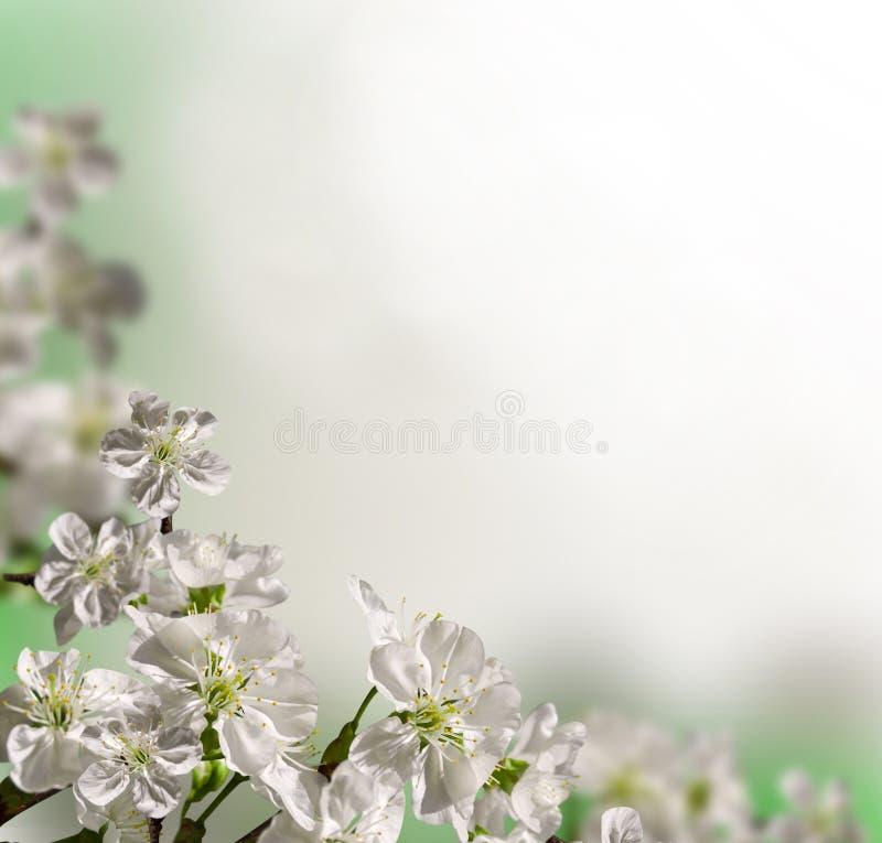 De kers van bloemen stock afbeelding