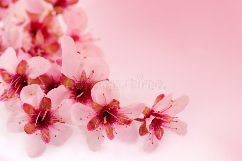 De kers van de lente bloeit achtergrond stock foto's