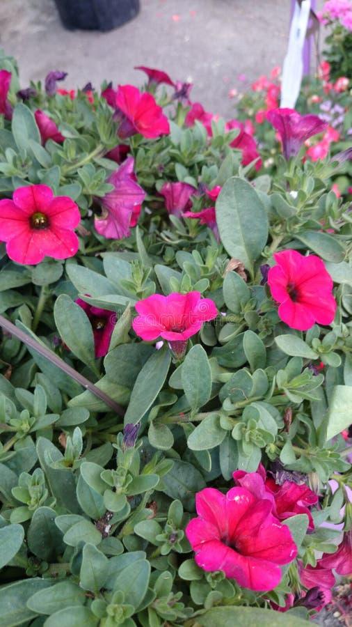 De Kers van Petchoasupercal (Calibrachoa X Petunia) stock afbeelding