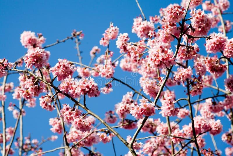 De bloemen van de de lentekers royalty-vrije stock afbeelding