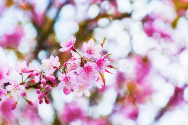 De kersenbloesem Sakura is de officieuze nationale bloem van Japan Het is gevierd voor vele eeuwen en gehouden zeer PR royalty-vrije stock foto's